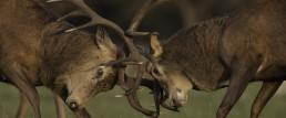 Battleground Deer